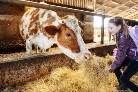 Eine Schülerin füttert eine Kuh